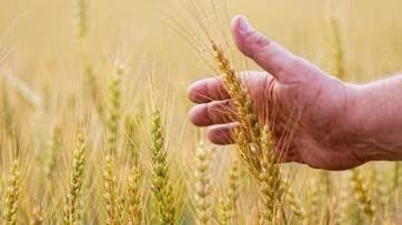 1-29-2016-sabbath-wheatfield